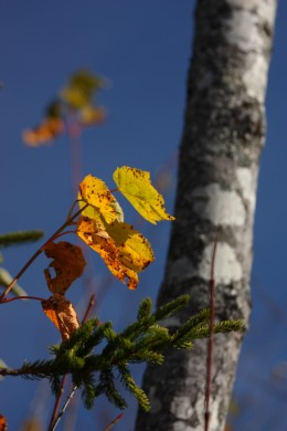leaf and birch