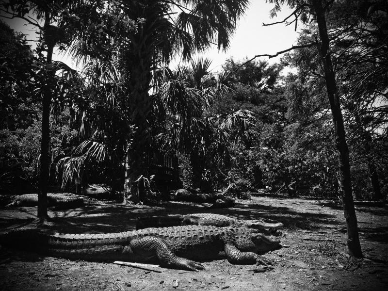 gator forest copy