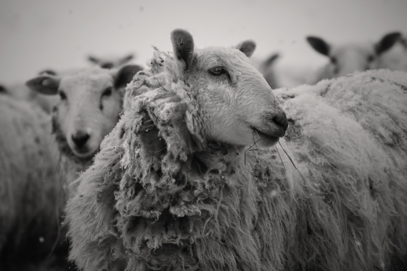 snow sheep2