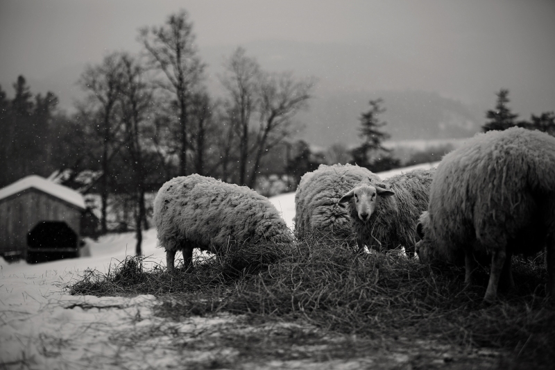 snow sheep4